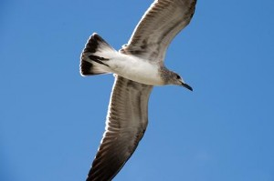 seagull-small